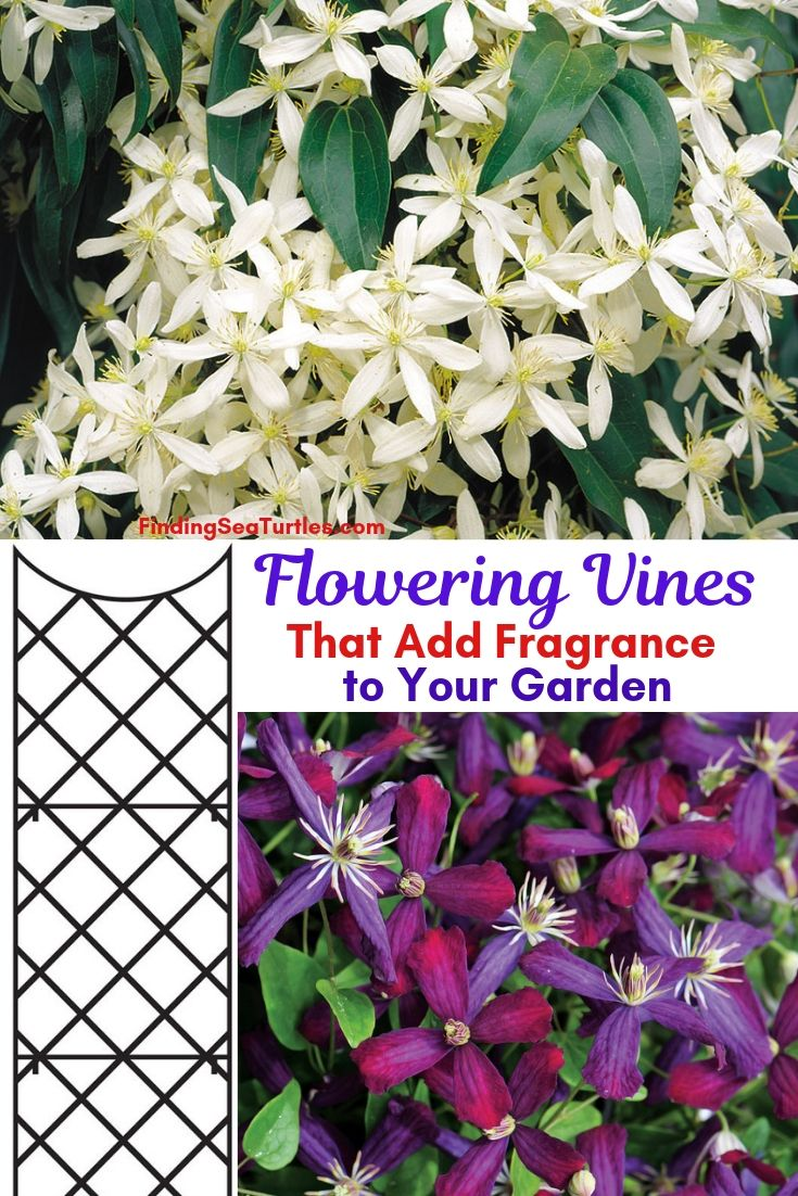 Flowering Vines That Add Fragrance To Your Garden #Perennials #Garden #Gardening #Vines #Climbers #Landscape #Trellis #Obelisk #GardenArbor #VerticalGardening