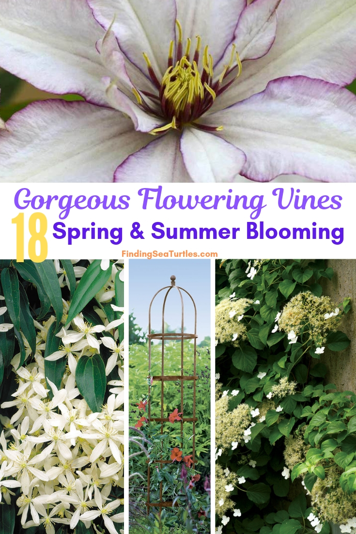 Gorgeous Flowering Vines 18 Spring Summer Blooming #Perennials #Garden #Gardening #Vines #Climbers #Landscape