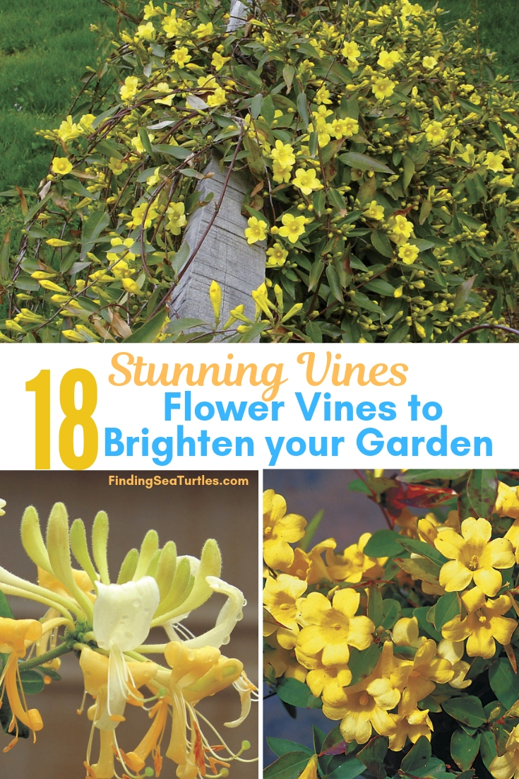 Stunning Vines 18 Flower Vines To Brighten Your Garden #Perennials #Garden #Gardening #Vines #Climbers #Landscape