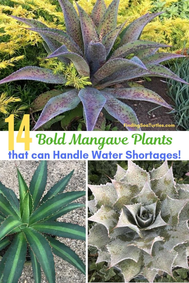 14 Bold Mangave Plants That Can Handle Water Shortages! #Perennials #Garden #Gardening #Mangave #MadAboutMangave #ContainerGardening #Landscape #DroughtTolerant #EasytoGrow