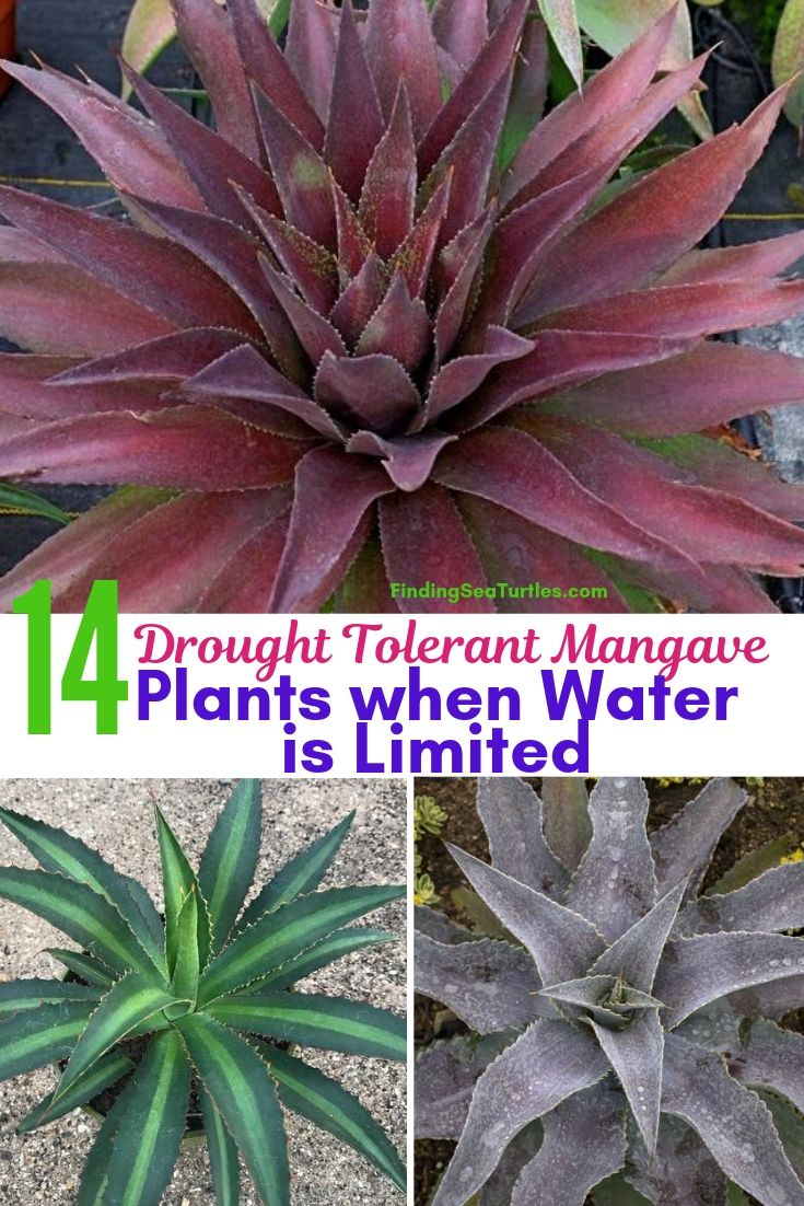 14 Drought Tolerant Mangave Plants When Water Is Limited #Perennials #Garden #Gardening #Mangave #MadAboutMangave #ContainerGardening #Landscape #DroughtTolerant #EasytoGrow