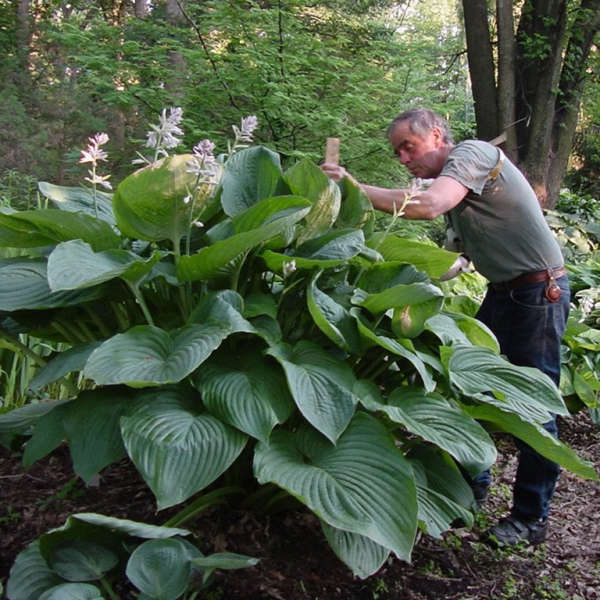 30 Money Saving Garden Tips for the Frugal Garden Empress Wu Hosta #SaveMoney #MoneySavingTips #SaveTime #GardenSavings #Garden #Gardening #Landscape #BudgetFriendly #FrugalLiving #FrugalGardening #ThriftyGardening