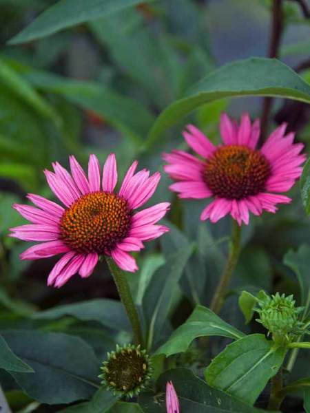 30 Money Saving Garden Tips for the Frugal Garden Vintage Wine Echinacea #SaveMoney #MoneySavingTips #SaveTime #GardenSavings #Garden #Gardening #Landscape #BudgetFriendly #FrugalLiving #FrugalGardening #ThriftyGardening