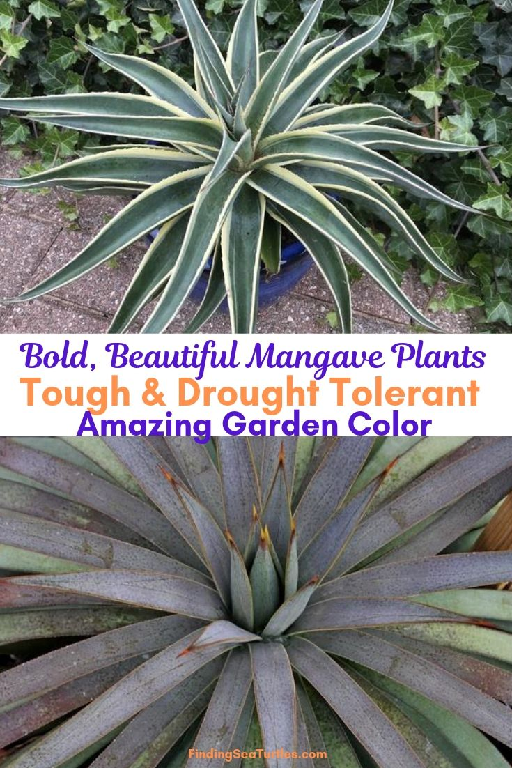 Bold, Beautiful Mangave Plants Tough Drought Tolerant Amazing Garden Color #Perennials #Garden #Gardening #Mangave #MadAboutMangave #ContainerGardening #Landscape #DroughtTolerant #EasytoGrow