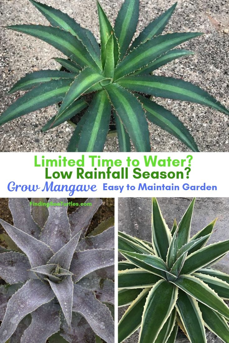 Limited Time To Water? Low Rainfall Season? Grow Mangave Easy To Maintain Garden #Perennials #Garden #Gardening #Mangave #MadAboutMangave #ContainerGardening #Landscape #DroughtTolerant #EasytoGrow