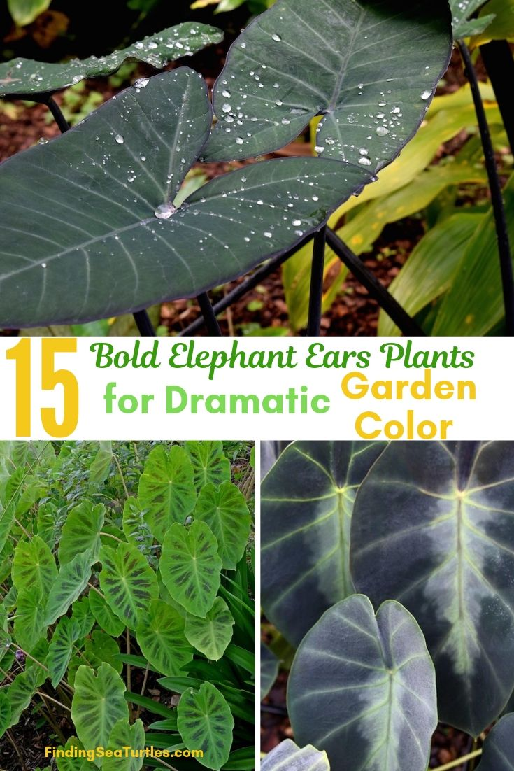 15 Bold Elephant Ears Plants For Dramatic Garden Color #Garden #Gardening #ElephantEars #Colocasia #ContainerGardening #Landscape #EasytoGrow