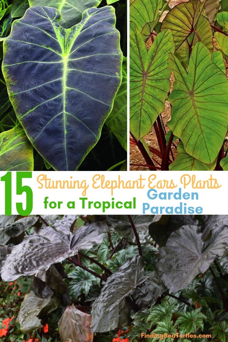 15 Stunning Elephant Ears Plants For A Tropical Garden Paradise #Garden #Gardening #ElephantEars #Colocasia #ContainerGardening #Landscape #EasytoGrow
