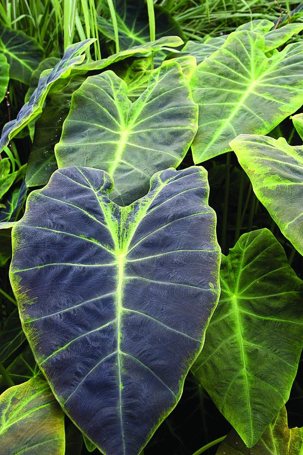 Grow Elephant Ears for a Tropical Garden Look Black Beauty Colocasia Esculenta Var Antiquorum #Garden #Gardening #ElephantEars #Colocasia #ContainerGardening #Landscape #EasytoGrow