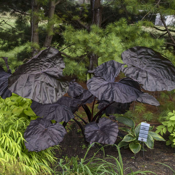 Grow Elephant Ears for a Tropical Garden Look Black Swan Colocasia #Garden #Gardening #ElephantEars #Colocasia #ContainerGardening #Landscape #EasytoGrow
