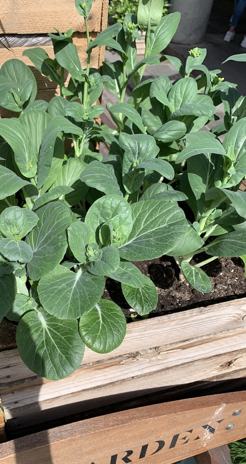 Crate Gardening for Small Spaces Broccoli Plant In Crate #Garden #Gardening #SmallSpace #SmallSpaceGardening #ContainerGardening #VegetableGarden #HerbGarden #PorchGarden #PatioGarden