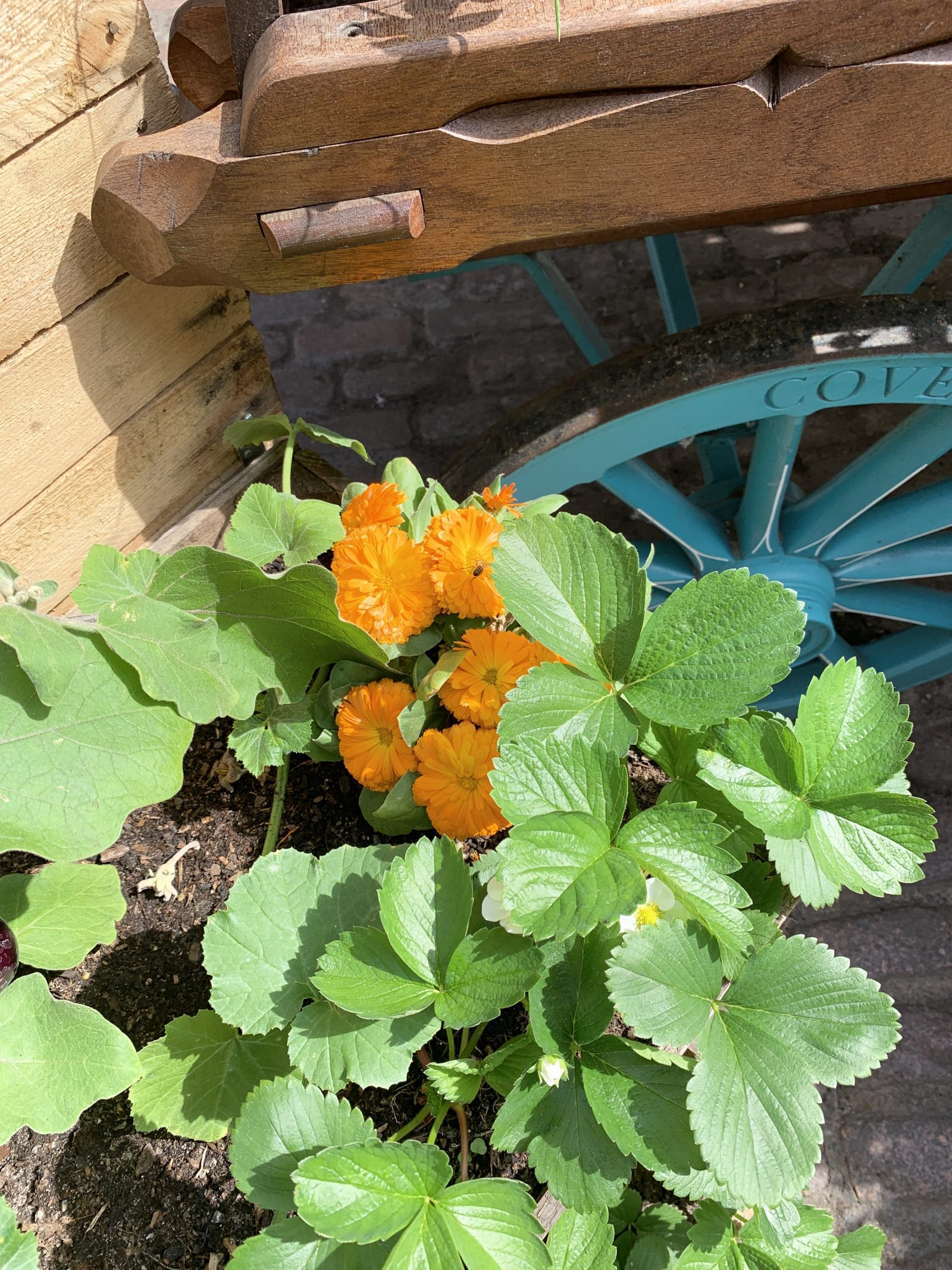 Crate Gardening for Small Spaces Calendula With Strawberry Plants #Garden #Gardening #SmallSpace #SmallSpaceGardening #ContainerGardening #VegetableGarden #HerbGarden #PorchGarden #PatioGarden