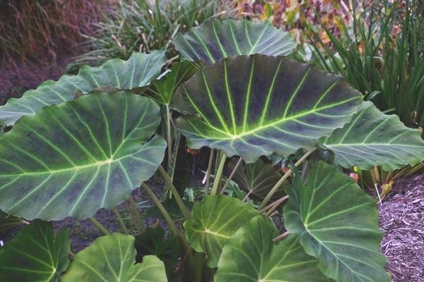 Grow Elephant Ears for a Tropical Garden Look Imperial Gigante Colocasia XLeucocolocasia #Garden #Gardening #ElephantEars #Colocasia #ContainerGardening #Landscape #EasytoGrow