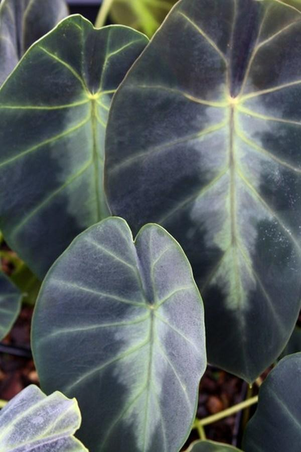 Grow Elephant Ears for a Tropical Garden Look Jennings Dwarf Colocasia #Garden #Gardening #ElephantEars #Colocasia #ContainerGardening #Landscape #EasytoGrow