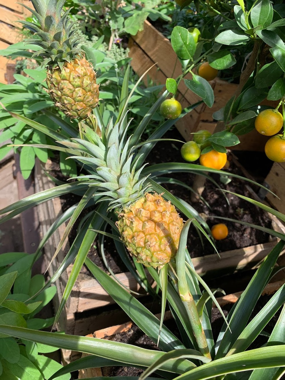Crate Gardening for Small Spaces Pineapple By Lemon Tree
