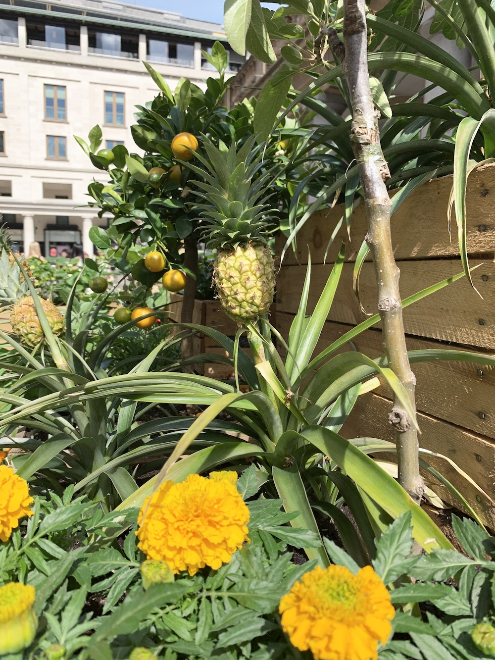 Crate Gardening for Small Spaces Pineapple With Lemon Tree #Garden #Gardening #SmallSpace #SmallSpaceGardening #ContainerGardening #VegetableGarden #HerbGarden #PorchGarden #PatioGarden