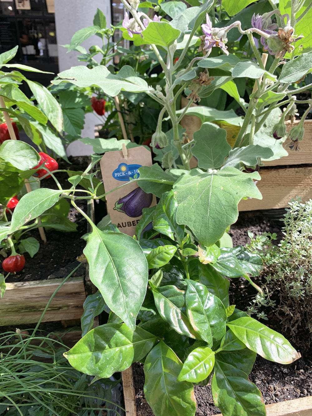 Crate Gardening for Small Spaces Red Peppers Aubergine Plants #Garden #Gardening #SmallSpace #SmallSpaceGardening #ContainerGardening #VegetableGarden #HerbGarden #PorchGarden #PatioGarden