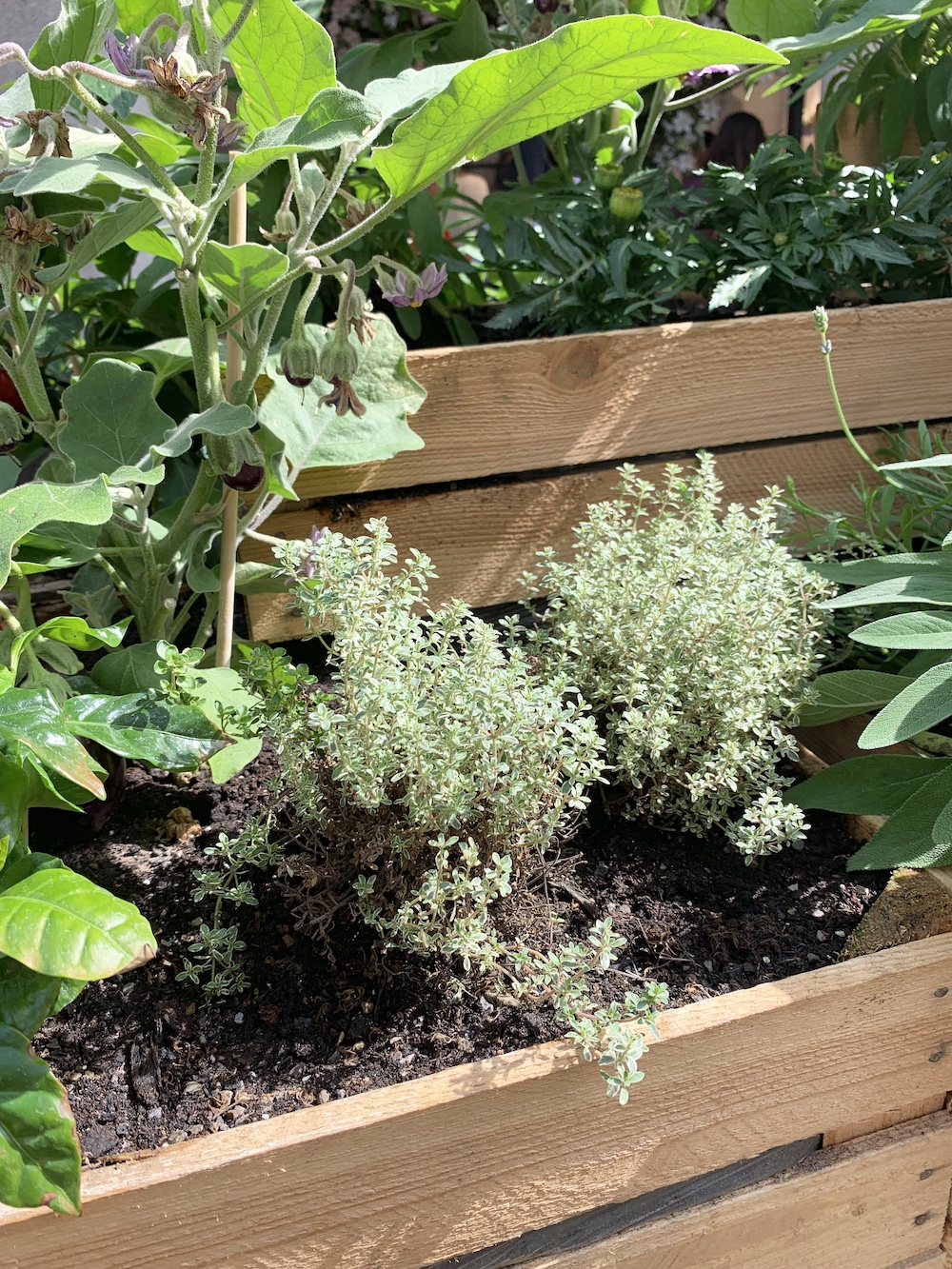 Crate Gardening for Small Spaces Silver Thyme With Sage #Garden #Gardening #SmallSpace #SmallSpaceGardening #ContainerGardening #VegetableGarden #HerbGarden #PorchGarden #PatioGarden