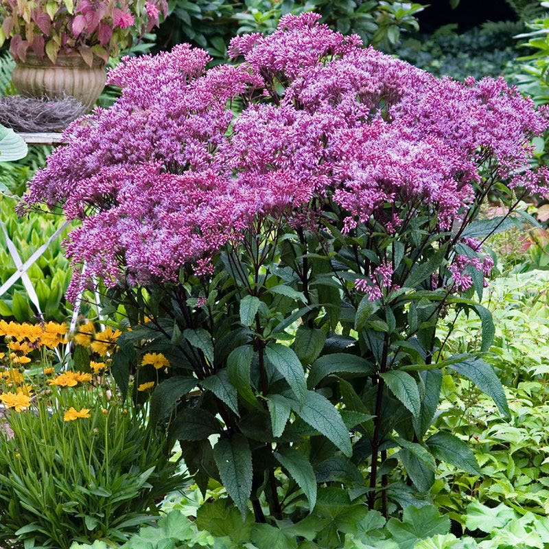 Garden Erosion Control Plants for Slopes and Banks Baby Joe Dwarf Pye Weed #Garden #Gardening #Landscape #Landscaping #ErosionControl #ErosionControlPlants #StopErosion