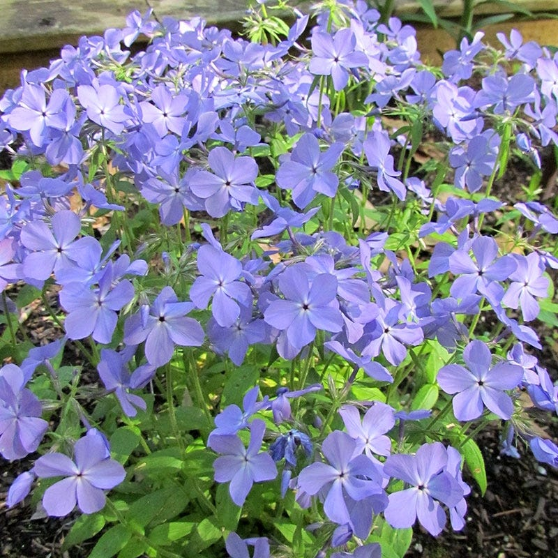 Garden Erosion Control Plants for Slopes and Banks Blue Moon Woodland Phlox #Garden #Gardening #Landscape #Landscaping #ErosionControl #ErosionControlPlants #StopErosion