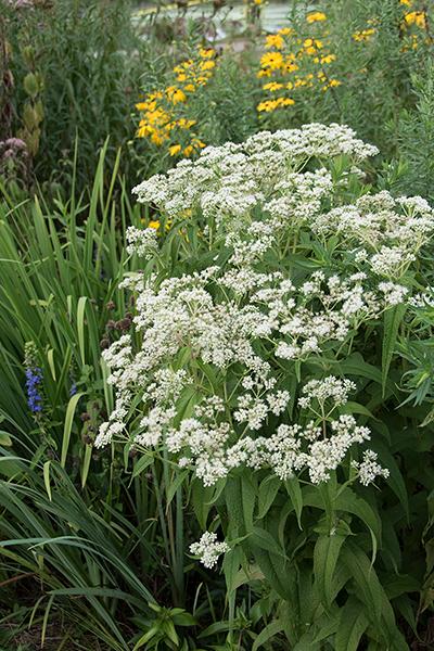 Garden Erosion Control Plants for Slopes and Banks Boneset #Garden #Gardening #Landscape #Landscaping #ErosionControl #ErosionControlPlants #StopErosion