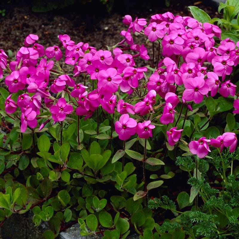 Garden Erosion Control Plants for Slopes and Banks Home Fires Creeping Phlox #Garden #Gardening #Landscape #Landscaping #ErosionControl #ErosionControlPlants #StopErosion