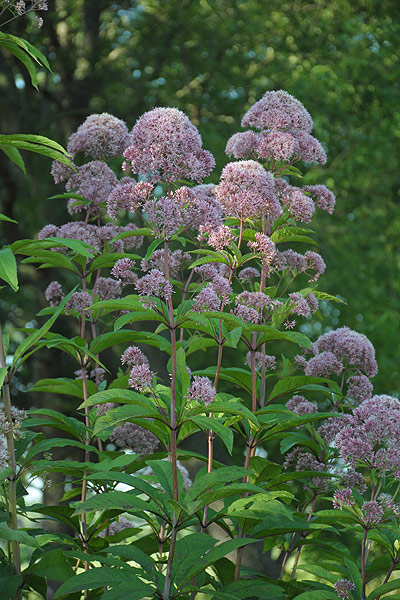 Garden Erosion Control Plants for Slopes and Banks Tall Joe Pye Weed #Garden #Gardening #Landscape #Landscaping #ErosionControl #ErosionControlPlants #StopErosion