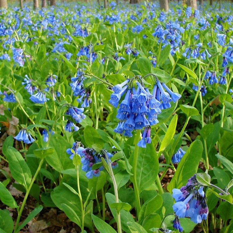 Garden Erosion Control Plants for Slopes and Banks Virginia Bluebells #Garden #Gardening #Landscape #Landscaping #ErosionControl #ErosionControlPlants #StopErosion