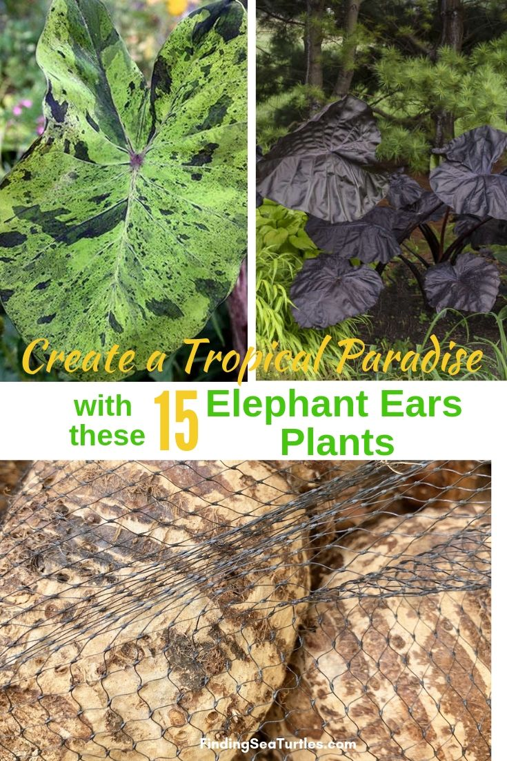 Create A Tropical Paradise With These 15 Elephant Ears Plants #Garden #Gardening #ElephantEars #Colocasia #ContainerGardening #Landscape #EasytoGrow