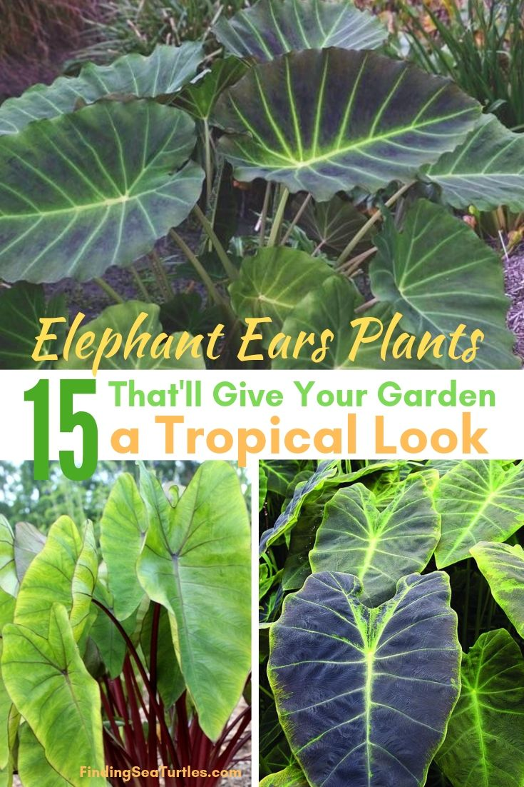 Elephant Ears Plants 15 That'll Give Your Garden A Tropical Look #Garden #Gardening #ElephantEars #Colocasia #ContainerGardening #Landscape #EasytoGrow