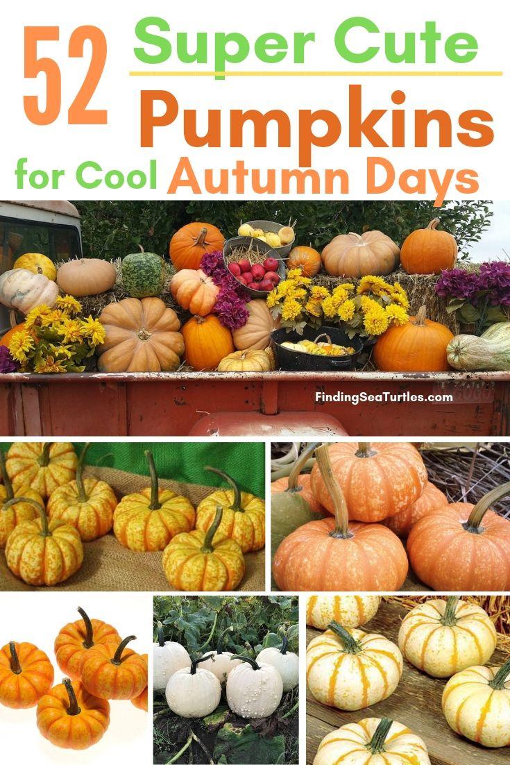 52 Super Cute Pumpkins For Cool Autumn Days #Pumpkin #Pumpkins #GrowPumpkins #Garden #Gardening #FallDecor #FallGarden #FallSquash #AutumnDecor #FallHarvest #Halloween