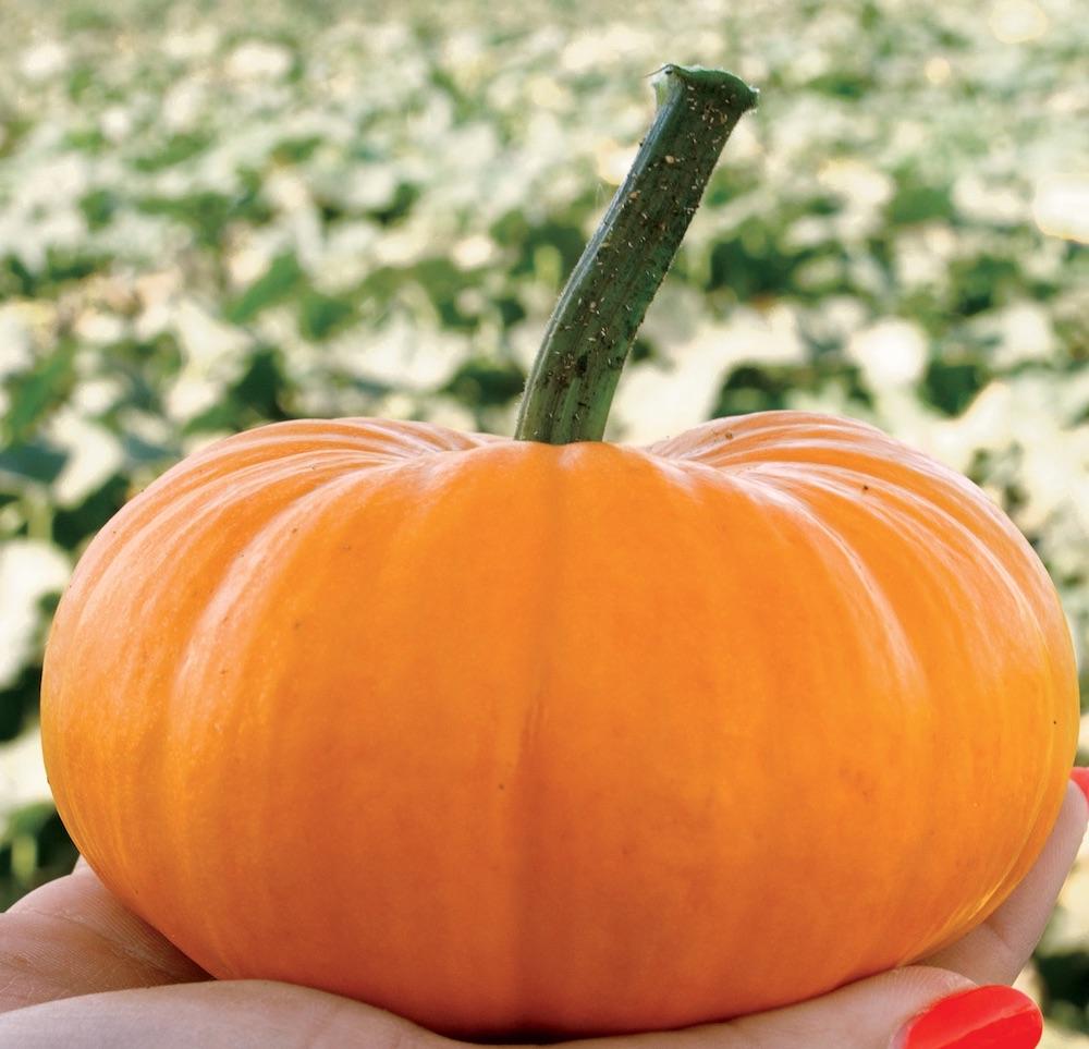 Types of Pumpkins to Eat, Decorate, and Display Bumpkin Hybrid #Pumpkin #Pumpkins #GrowPumpkins #Garden #Gardening #FallDecor #FallGarden #FallSquash #AutumnDecor #FallHarvest #Halloween