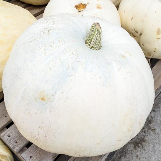 52 Types of Pumpkins to Eat, Decorate, and Display Casper Pumpkin #Pumpkin #Pumpkins #GrowPumpkins #Garden #Gardening #FallDecor #FallGarden #FallSquash #AutumnDecor #FallHarvest #Halloween