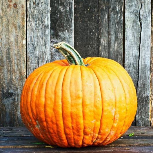 52 Types of Pumpkins to Eat, Decorate, and Display Connecticut Field Pumpkin #Pumpkin #Pumpkins #GrowPumpkins #Garden #Gardening #FallDecor #FallGarden #FallSquash #AutumnDecor #FallHarvest #Halloween