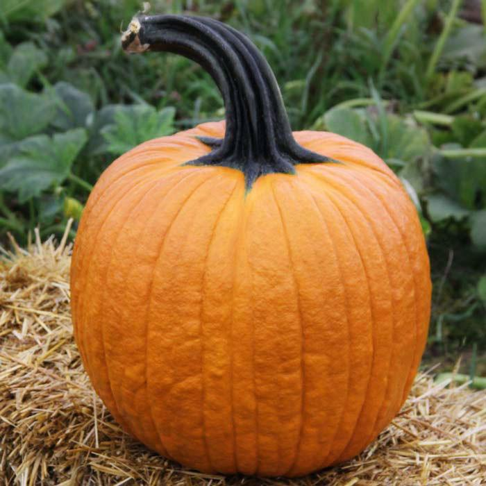 52 Types of Pumpkins to Eat, Decorate, and Display Cronus Pumpkin #Pumpkin #Pumpkins #GrowPumpkins #Garden #Gardening #FallDecor #FallGarden #FallSquash #AutumnDecor #FallHarvest #Halloween