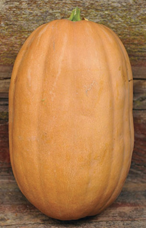 52 Types of Pumpkins to Eat, Decorate, and Display Dickinson Pumpkin #Pumpkin #Pumpkins #GrowPumpkins #Garden #Gardening #FallDecor #FallGarden #FallSquash #AutumnDecor #FallHarvest #Halloween