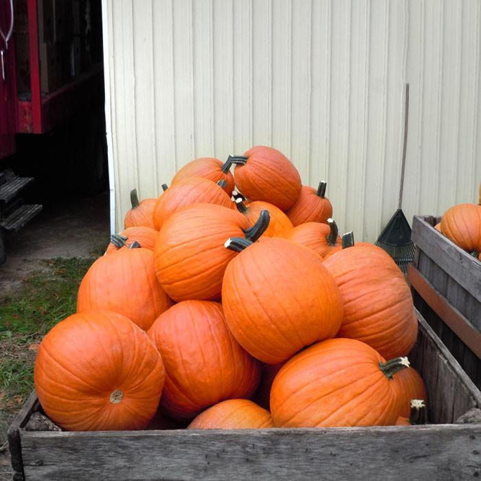 52 Types of Pumpkins to Eat, Decorate, and Display Gladiator Pumpkin #Pumpkin #Pumpkins #GrowPumpkins #Garden #Gardening #FallDecor #FallGarden #FallSquash #AutumnDecor #FallHarvest #Halloween