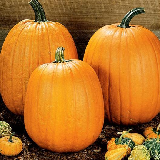 52 Types of Pumpkins to Eat, Decorate, and Display Howden Field Pumpkin #Pumpkin #Pumpkins #GrowPumpkins #Garden #Gardening #FallDecor #FallGarden #FallSquash #AutumnDecor #FallHarvest #Halloween