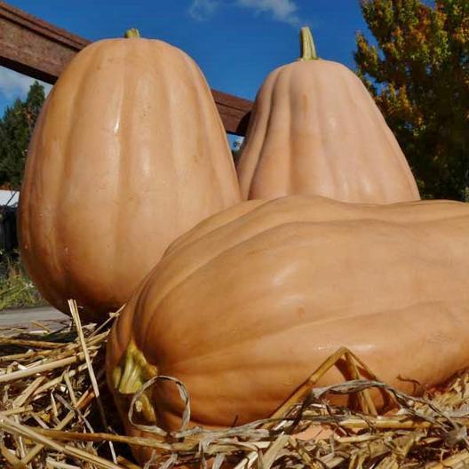 52 Types of Pumpkins to Eat, Decorate, and Display Kentucky Field Pumpkin #Pumpkin #Pumpkins #GrowPumpkins #Garden #Gardening #FallDecor #FallGarden #FallSquash #AutumnDecor #FallHarvest #Halloween