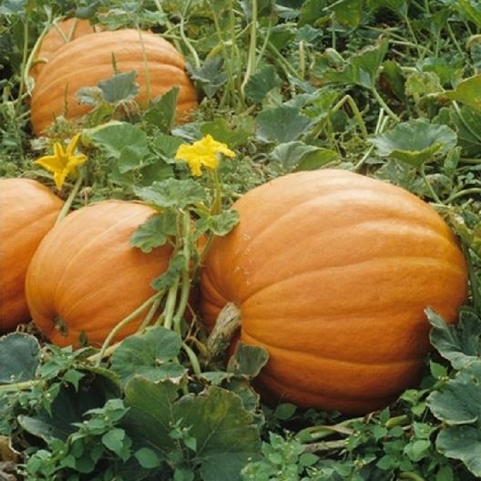 52 Types of Pumpkins to Eat, Decorate, and Display Mammoth Gold Pumpkin #Pumpkin #Pumpkins #GrowPumpkins #Garden #Gardening #FallDecor #FallGarden #FallSquash #AutumnDecor #FallHarvest #Halloween
