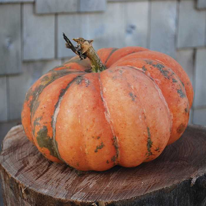 52 Types of Pumpkins to Eat, Decorate, and Display Moranga Squash #Pumpkin #Pumpkins #GrowPumpkins #Garden #Gardening #FallDecor #FallGarden #FallSquash #AutumnDecor #FallHarvest #Halloween