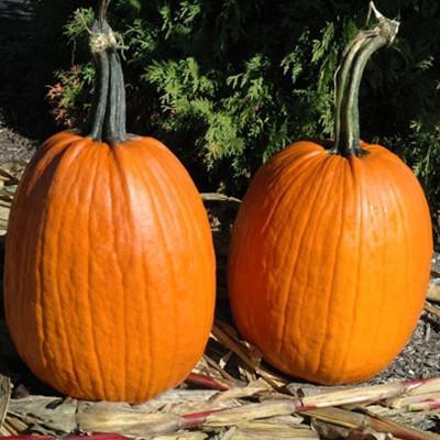 52 Types of Pumpkins to Eat, Decorate, and Display Pumpkin Ares #Pumpkin #Pumpkins #GrowPumpkins #Garden #Gardening #FallDecor #FallGarden #FallSquash #AutumnDecor #FallHarvest #Halloween