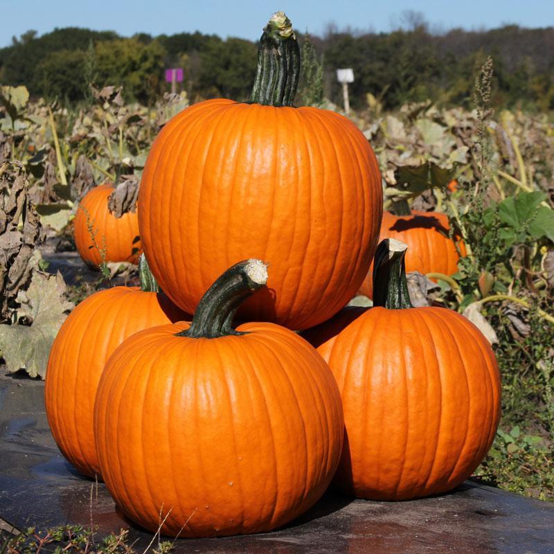 52 Types of Pumpkins to Eat, Decorate, and Display Pumpkin Kratos #Pumpkin #Pumpkins #GrowPumpkins #Garden #Gardening #FallDecor #FallGarden #FallSquash #AutumnDecor #FallHarvest #Halloween