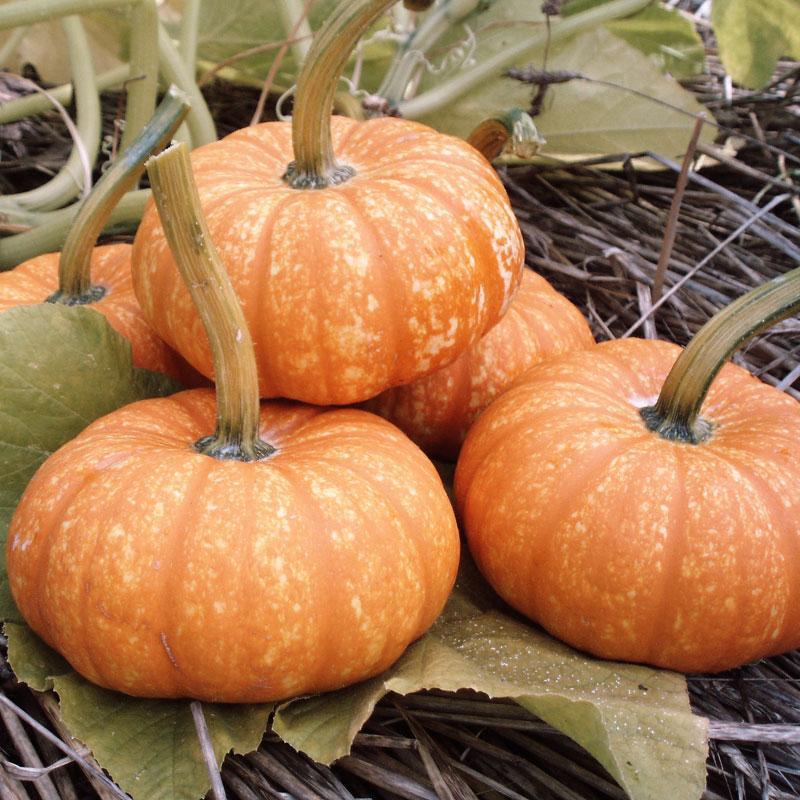 Types of Pumpkins to Eat, Decorate, and Display Pumpkin Lil Orange Mon #Pumpkin #Pumpkins #GrowPumpkins #Garden #Gardening #FallDecor #FallGarden #FallSquash #AutumnDecor #FallHarvest #Halloween