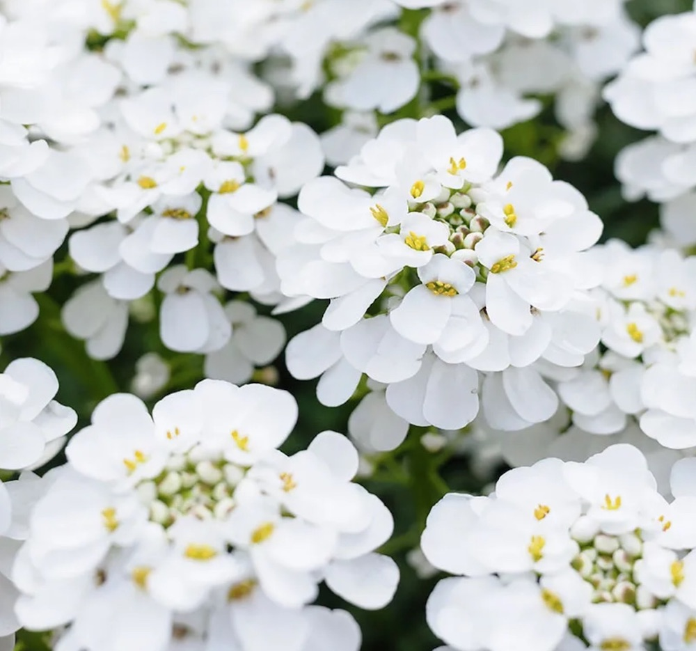 Plants for Slopes and Banks Alexander's White Candy Tuft #Perennials #Garden #Gardening #Groundcovers #SunLovingGroundcovers #Landscaping #PlantsforSlopes #PlantsforBanks #PlantsforStoneWalls