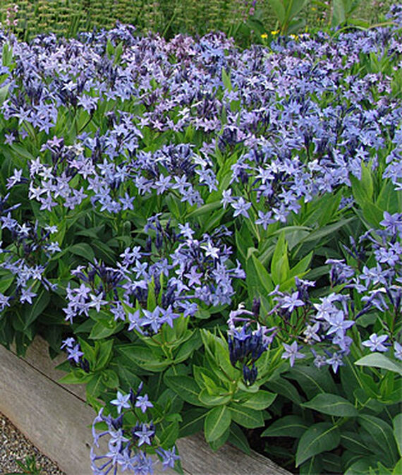 Plants for Weed Control Amsonia Blue Ice #Perennials #Garden #Gardening #Groundcovers #SunLovingGroundcovers #Landscaping #PlantsforSlopes #PlantsforBanks #PlantsforStoneWalls