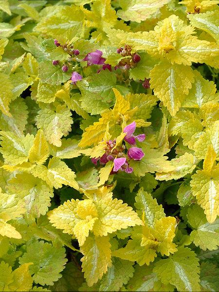 Flowering Dry Shade Perennials Aureum Lamium #Perennials #Garden #Gardening #DryShadePerennials #ShadeLovingPerennials #DryShadeLovingPlants #Landscaping