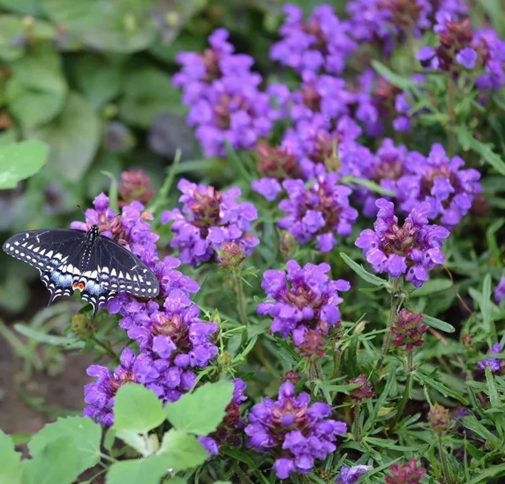 Flowering Plants for Slopes Bella Blue Prunella #Perennials #Garden #Gardening #GroundCovers #ShadeLovingGroundCovers #Landscaping