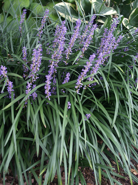 Flowering Dry Shade Perennials Big Blue Liriope #Perennials #Garden #Gardening #DryShadePerennials #ShadeLovingPerennials #DryShadeLovingPlants #Landscaping