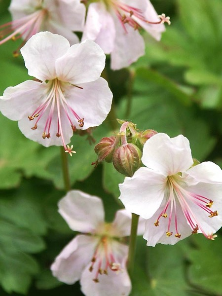 Blooming Plants that are Beneficial for Pollinators Biokovo Geranium #Perennials #Garden #Gardening #DryShadePerennials #ShadeLovingPerennials #DryShadeLovingPlants #Landscaping