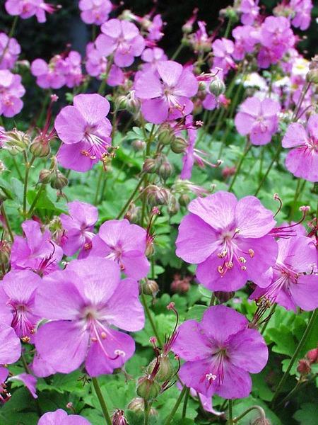 Flowering Dry Shade Perennials Biokovo Karmina Geranium #Perennials #Garden #Gardening #DryShadePerennials #ShadeLovingPerennials #DryShadeLovingPlants #Landscaping